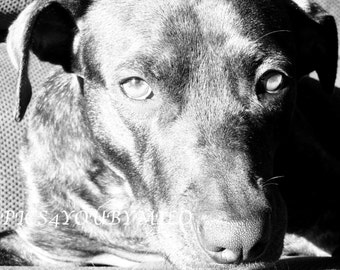 Eyes of a Pit Bull heart of gold
