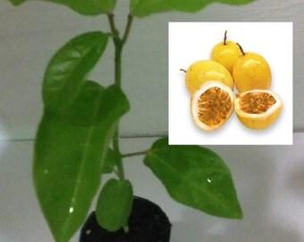 Passion Flower Fruit Passiflora edulis 2 Live Plants