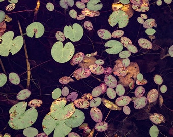 Lily Pads II: WALL ART Fine Art Photography Purple Violet Pink Green Aqua Marine Turqouise Yellow Water Abstract Nature Pattern Lillies Pond