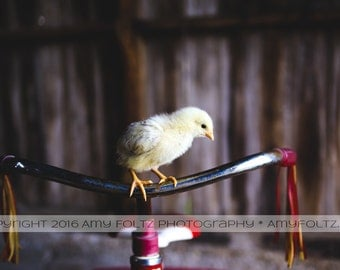 baby chick photo - farm house decor - living room decor - wall art - fine art photography - farm photo - tricycle photo