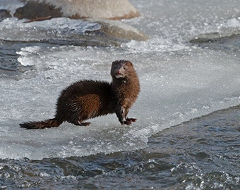 Mink on River Ice