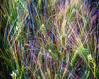 negative wheat
