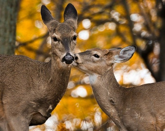 Give Momma A Kiss - Animal Photo - Nature Wildlife Photography - Love - Deer Kiss