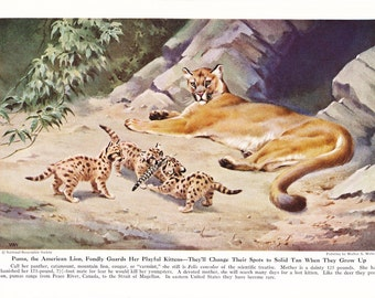 1940s Mountain Lion Cougar Puma Panther Print -  Vintage Antique Animal Zoology Zoo Cat Home Decor Book Plate Art Illustration for Framing