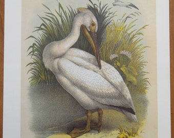 White Pelican large vintage Bird Cromolithograph from Studer's Popular Ornithology, bird print, wall art