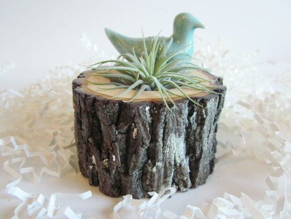 Air plant holder cubicle decor hickory wood plant holder - Cubicle planters ...