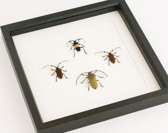 Beetle Shadowbox Longhorn Framed Beetle Display