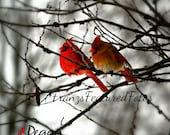 "Cardinal Birds Nature Photography  8 x10 ""True Love""  LIMITED Time Through Christmas Wildlife Photography  Bird Photography LIMITED EDITION"