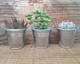 """Reserved For Shannon, 100 2""""' 20 4"""" Rosete Succulents, 75 Planted In Silver Pails, Pick Up August 17"""
