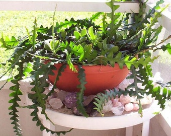 Rare Plant Cuttings, Zig Zag, Ric Rac Cactus Orchid, 2 Pieces of Eight Inch Cuttings, Epiphyllum Ric Rac Orchid, Healthy Specimen Plants