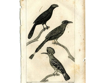1817 ANTIQUE BIRD PRINT original antique bird engraving - huppoo