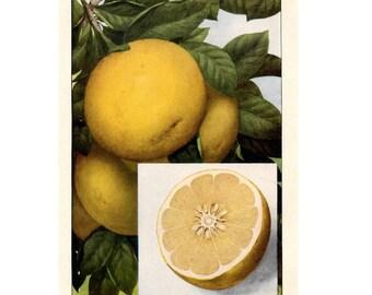 1911 ANTIQUE FRUIT LITHOGRAPH - grapefruit original antique fruit & vegetable food lithograph print - citrus