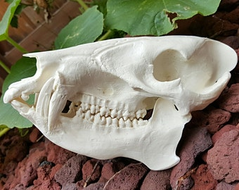 Beautiful Hand Made Javelina Skull Replica