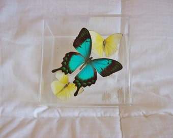 Real  Sea Foam Green with Ebony Black Butterfly With Two Pastel Yellow Accent Butterflies