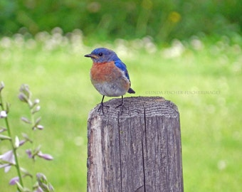 Blue Bird Perch on Fence Nature Landscape Flower Wall Art Home Decor Fine Art Photography Linda Fischer of Fischerimages