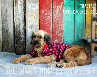 8x10/8x12 Photograph—'Rasta Dog' (Caye Caulker, Belize)