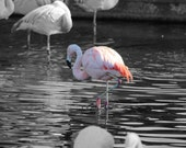 Pink Flamingo Striking Contrast on Black & White Background Taken in Palm Desert Nature Photograph Wall Art Wall Hanging Home Deco Fuchsia