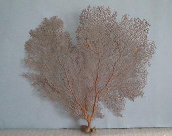 "12"" x 11"" Pacifigorgia Red  Sea Fan Seashells Reef Coral"
