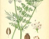 CARAWAY - Botanical book plate 261