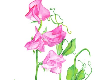 Sweet Peas watercolour painting, sweet peas print, SP13516, A4 size print, sweet pea watercolour painting, Botanical wall art