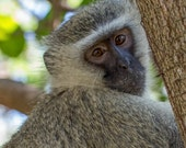 """Africa Photography - """"Monkey in a Tree"""" - Kruger National Park - monkey face - Customizable sizes upon request"""
