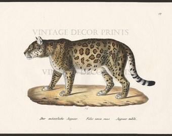 Jaguar Print Original 1827 Engraving by Joseph Brodtmann for H.R.Schinz Hand Coloured Engraving Decorative Natural History Print