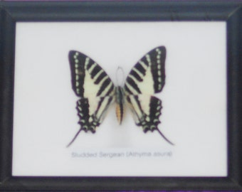 Real BUTTERFLY Collection Taxidermy in Frame / BTF01HH2
