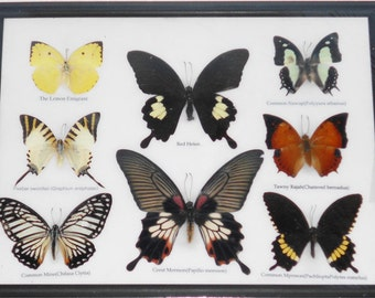 REAL 8 BEAUTIFUL BUTTERFLY Collection in Frame / BF20f