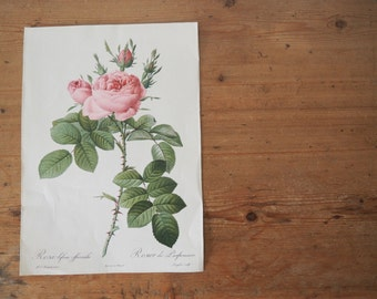 Vintage Botanical Print - Vintage Rose Illustration - Print by Redoute