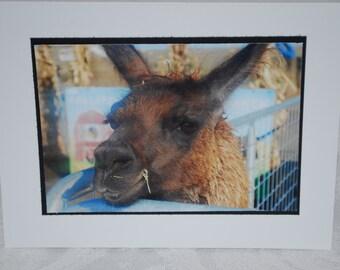 photo card, Llama photograph