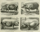 1895 Antique print of DOMESTIC PIGS, different species. Swines. Hogs. 121 years old print.