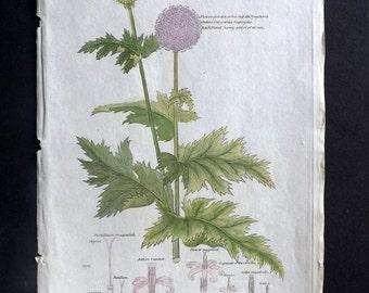 Dr. Thornton 1812 HC Botanical. Echinops Sphaerocephalus or Great Globe Thistle