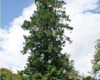 Pindrow Fir Tree Seeds, Abies pindrow - 25 Seeds