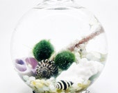 Marimo terrarium in glass footed orb with shells and coral