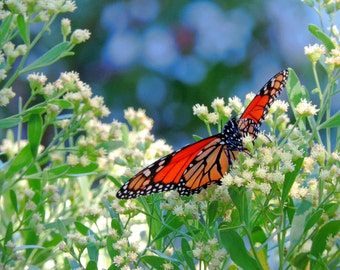 Monarch Butterfly Photograph Nature Photo Butterfly Art