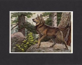 "Elkhound Print 1919 Vintage Dog Print by Louis Agassiz Fuertes Small Picture Mounted + Mat 8"" x 6"" Print"