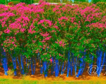 """Plexi-Photo - """"Blue Trees"""",  Houston, TX. (Facemounted to Plexi)"""