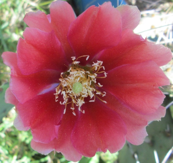 Winter Hardy Prickly Pear Cactus RED BLOOMS