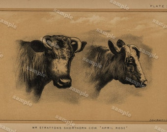 1888 Cattle and Dairy Farming Engraving by Julius Bien Natural History decorative art Authentic Shorthorn Cow farm animal