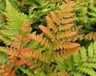 Autumn Fern ( Dryopteris erythrosora ) - Live Plant - 1 Gallon Pot