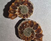 Fossilized Ammonite Slices Matched Pair