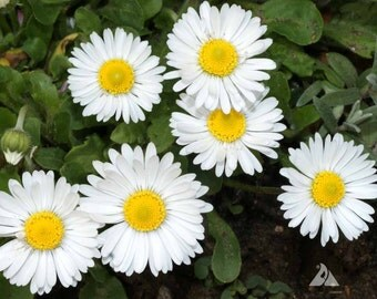 English Daisy Bellis Seeds - Single White ,Bellis perennis ,Biennial Flowers Seeds .