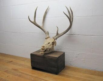 Vintage Deer Skull, Southwestern Decor, Sun Bleached Skull, Real Deer Skull, Weathered Skull with Horns,Buck Skull