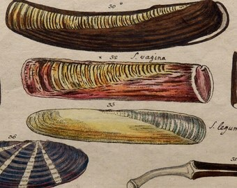 1801.SMALL Antique print.Molluscs.SOLEN.Wilhelm, Gottlieb Tobias.Copper engraving.Colored by hand.214 years old.6.2x3.9 ins or 16x10 cm.