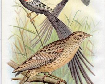 1899 Antique Bird Print Long Tailed Wydah Lithograph Nature Frohawk Vintage Bird Decor Vintage Bird Print