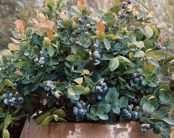 Dwarf Blueberry Seeds - PEACH SORBET - Vaccinium - Great in Container - 25 Seeds