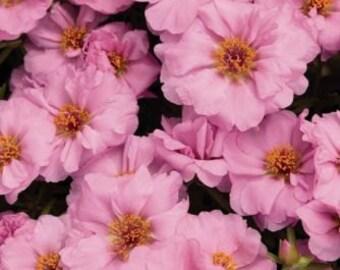 75+ Portulaca Sundial Pink Flower Seeds / Annual