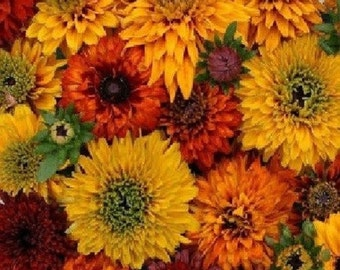 30+ Moroccan Sunset Mix Rudbekia Flower Seeds