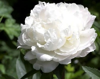 50+ White Cloud Double Peony Papaver / Self-Seeding Annual Flower Seeds