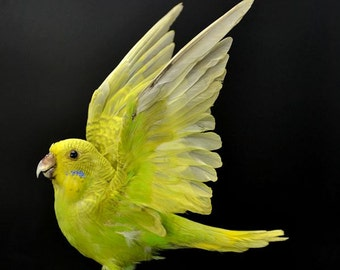 real bird taxidermy budgerigar with  wing open , birthday gift, gift,free shipping to worldwide